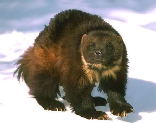 Felines are fine, Canines are cool, but Mustelids are magnificent ...