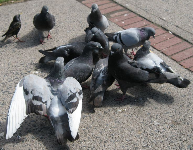 Tem problemas com pombos? Veja aqui os serviços de Companhia Europeia de Desinfestações CED http://ced.pt/pt/servicos/controlo-de-pragas/aves/controlo-de-aves-pombos-pardais-e-gaivotas/