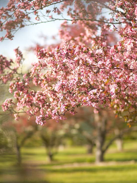 Add spring flair to your landscape with crabapples.