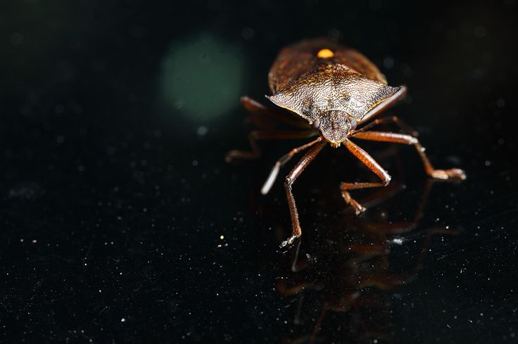 Shieldbug on the car . Pentatoma rufipes I think.