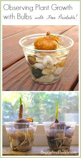 Science for Kids: Observing Plant Growth with Bulbs (w/ FREE printable)