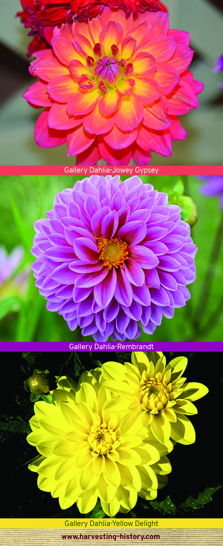 Gallery Dahlias Are The Smallest Of The Dahlia Cultivars With Most Plants Under 2 Feet Flowers Are Usually 2 Inches In Diameter B Border Plants Dahlia Plants