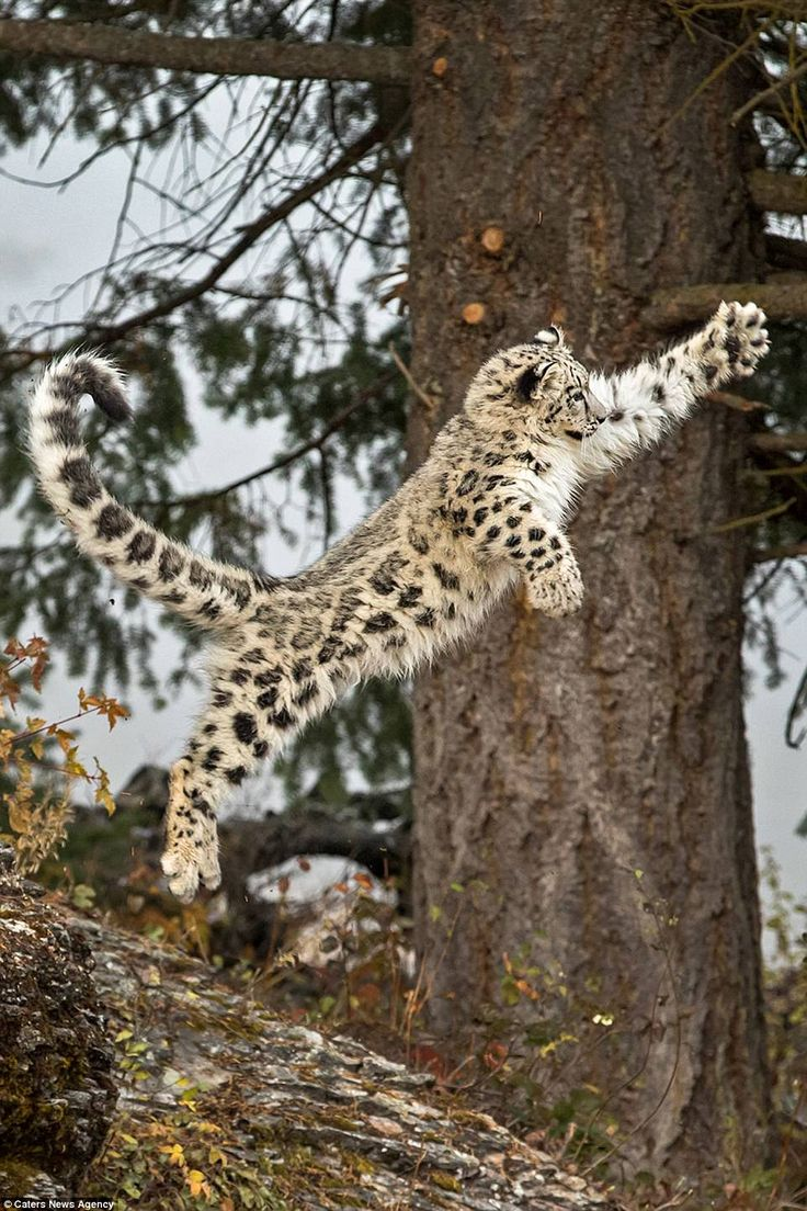 Snow leopards are poached for their fur and the Triple D Ranch runs an accredited breeding...