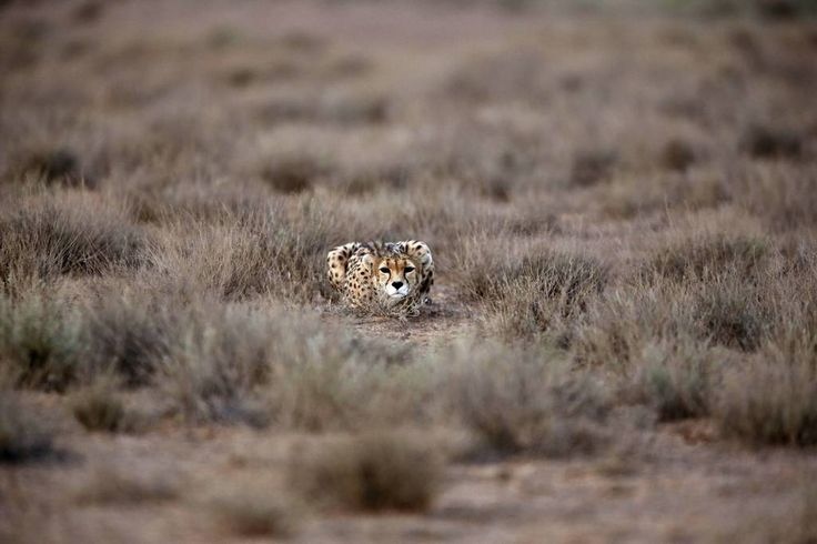 Photos of the Year 2014 - The Wall Street Journal - A 7-year-old male Asiatic Cheetah crouched at the Miandasht Wildlife Refuge in Jajarm, Iran, on May 26. Iran is conducting a campaign to rescue the critically endangered species.