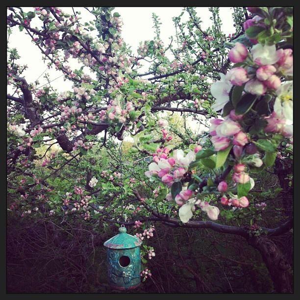 Maj - Äppelträd i blom