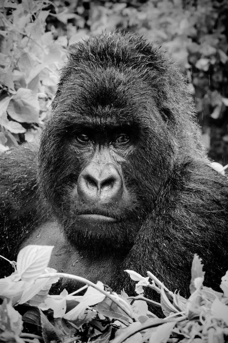 Mountain Gorilla - Close up of a 45 y/o male mountain gorilla
