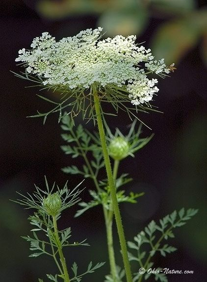 queen anne's lace - my favorite wildflower.