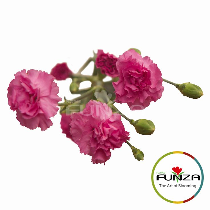 Lavender Spray Carnation from Flores Funza. Variety: Rachel. Availability: Year-round.