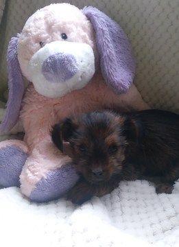 Litter of 5 Shorkie Tzu-Yorkshire Terrier Mix puppies for sale in BELLEVILLE, PA. ADN-67771 on PuppyFinder.com Gender: Female. Age: 7 Weeks Old