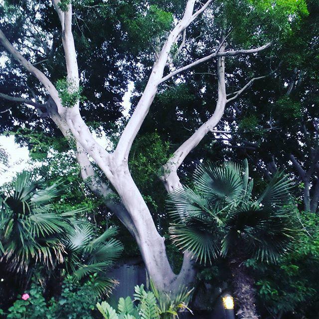 #дерево #куст #листья #зеленые #зеленый #зоопарк #природа #фонарь #высокое #калифорния #кусты #пальмы #beautiful #сандиего #сша #tree #bush #leafs #green #zoo #nature #lamp #high #california #sandiego #usa #bushes #palms #красиво #sandiego #sandiegoconnection #sdlocals #sandiegolocals - posted by Asia https://www.instagram.com/somethingnew_about. See more post on San Diego at http://sdconnection.com