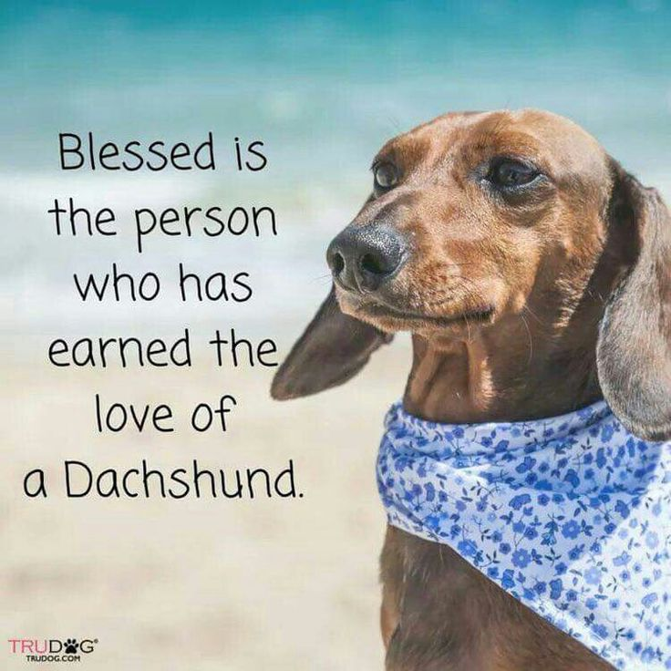 Nothing better than love from your dachshund.