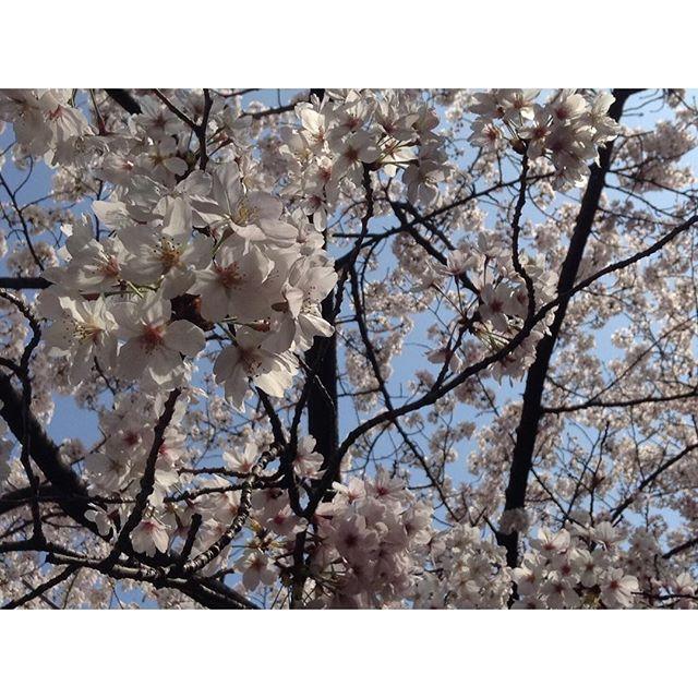 【halkasu】さんのInstagramをピンしています。 《涙が止まらないよ もう君に会えないんだね 一緒に過ごした日々が遠い光になってく ねえ、それでもぼくは行かなくちゃ 君がいなくても明日を見つめてゆく いきものがかり「ラストシーン」 #四月は君の嘘 #ラストシーン #いきものがかり  #桜 #春 #広瀬すず #山﨑賢人 #石井杏奈 #中川大志》