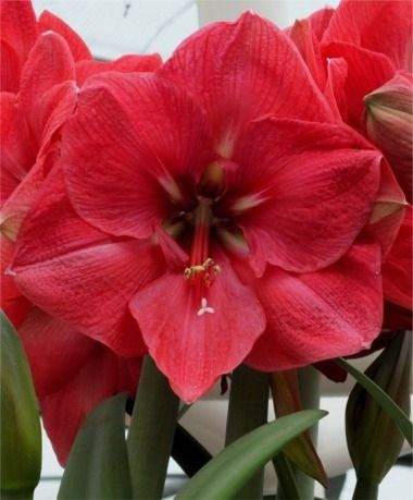 213 best amaryllis images on pinterest flower power for Amaryllis royal red