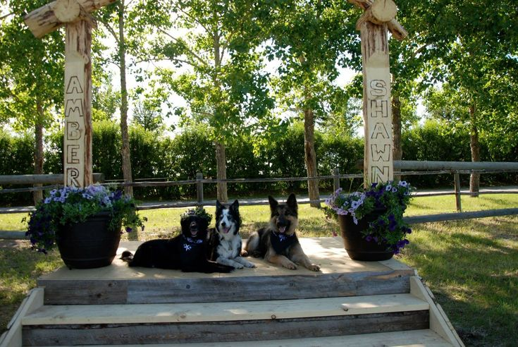 JC POST: K9 WEDDING PARTY  From left to right: #AmbersDogChina, #LeesDogDallas and #AmbersDogRemi posing on the altar and all sporting their purple, white and black Wedding bandanas :)