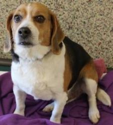 Bruce is an adoptable Beagle Dog in Merriam, KS. Adoption fee includes spay or neuter, microchip identification, DA2PP+C vaccine, bordetella vaccine, rabies vaccine (ages 4 months & up), current heart...