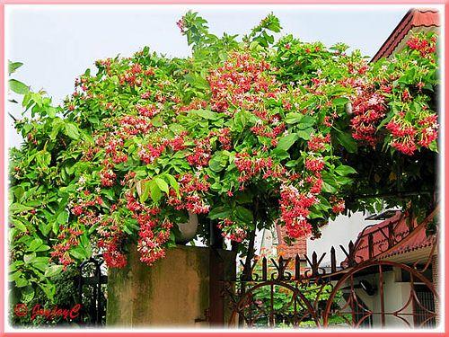 Rangoon Creeper  Combretum indicum melbourne beach vero cocoa indian harbour  florida brevard nursery