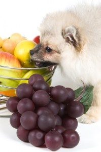 Can dogs eat grapes? NO!, avoid feeding your dog grapes or raisins at all cost.
