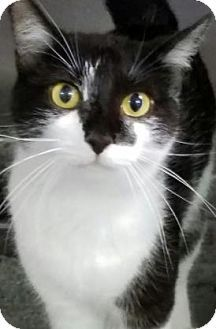 Fort Smith, AR - Domestic Shorthair. Meet Wild Child, a cat for adoption. http://www.adoptapet.com/pet/15811415-fort-smith-arkansas-cat