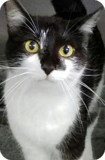 Fort Smith, AR - Domestic Shorthair. Meet Wild Child, a cat for adoption. http://www.adoptapet.com/pet/15811415-fort-smith-arkansas-cat