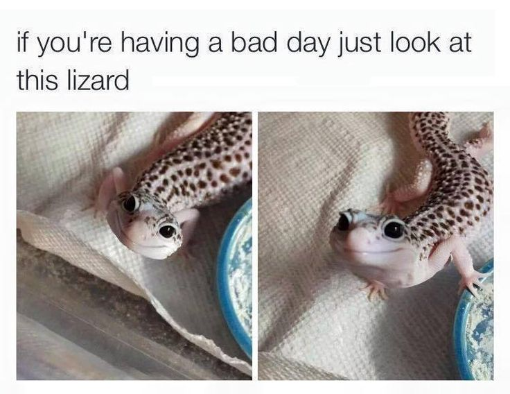 Cute leopard gecko to raise a smile