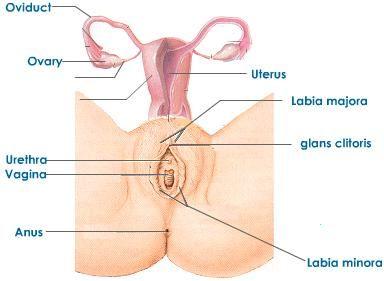 Girls Sexs Organs Images