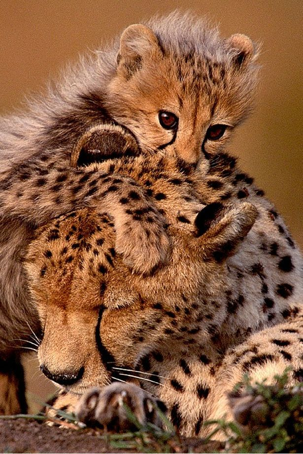 Baby cheetah nuzzles mum as adorable pictures show special bond between parent and cub