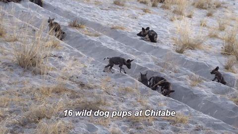 Cutest little wild dog puppies at Chitabe right now #Okavango #safari