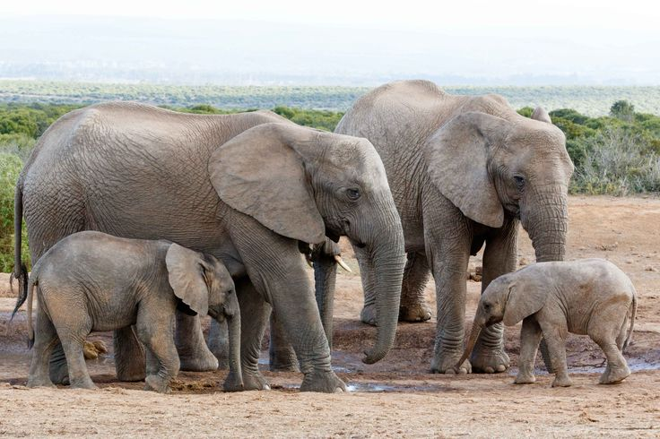 The love of the family off African Bush Elephant The love of the family off African Bush Elephant - The African bush elephant is the larger of the two species of African elephant. Both it and the African forest elephant have in the past been classified as a single species.
