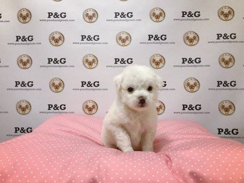 Maltese-Poodle (Toy) Mix puppy for sale in TEMPLE CITY, CA. ADN-66232 on PuppyFinder.com Gender: Female. Age: 10 Weeks Old