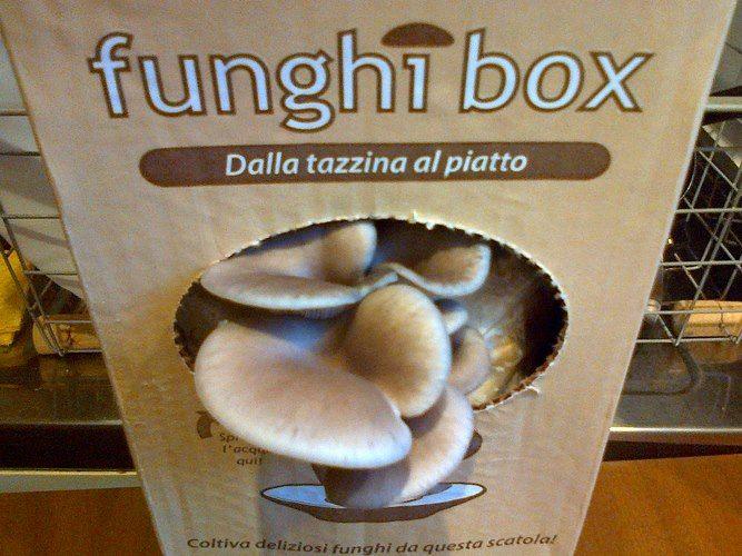 Funghi Ostrica Funghibox. Giorno 7. #funghi #faidate #coltivare #kit #pleurotus #orto