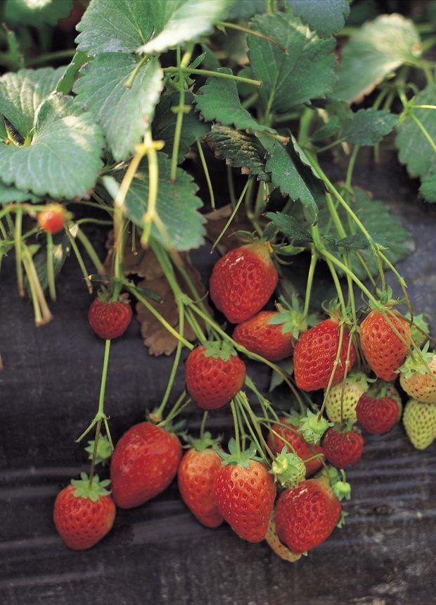 Como cultivar morangos deliciosos em vasos pendurados