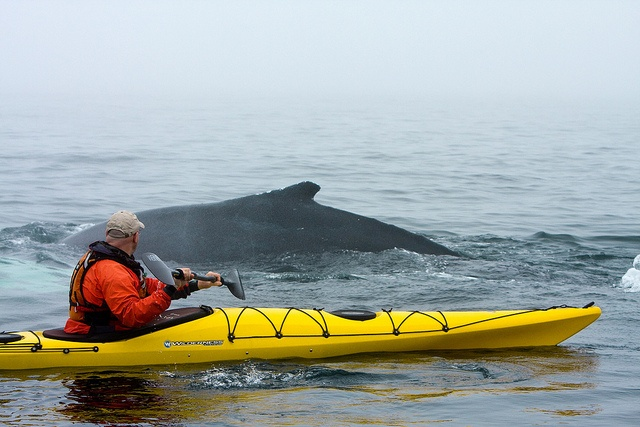 A Whale surfaces Near a Kayaker by Newfoundland and Labrador Tourism, via Flickr
