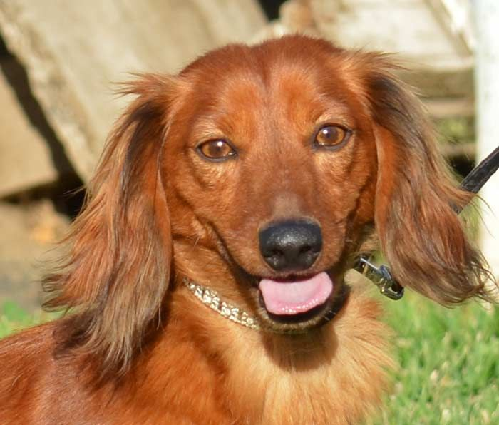 Brawnee is a sweet and handsome 2 year old longhaired mini Dachshund, he is current on his vaccinations, neutered and micro-chipped.  He seems to be house trained and is using potty pads at the sanctuary, he doesn't lift his leg inside and is a...