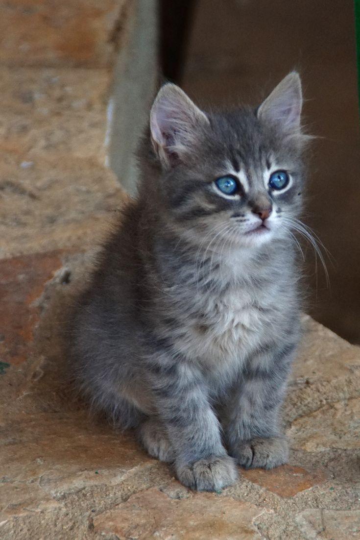 A Cute Kitten With Blue Eyes Cute Kitten Cat Cuteanimals Theworldisgreat Kittens Cutest Baby Animals Cute Cats