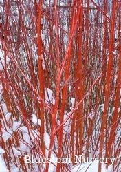 Salix alba 'Britzensis' - Coral Bark willow. Will grow to be a 20' tree unless it is coppiced annually. The new growth is red in the winter.