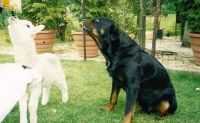 Rottweiler Rescue Trust (UK) | WHO WE ARE  Rottweiler Rescue Trust (incorporating Beached Rottweiler Rescue) founded in 2000 by a small group of people with many years experience of owning and rescuing Rottweilers.    WHERE WE ARE  We are based in Kent, but cover most of South East England and the Home Counties.