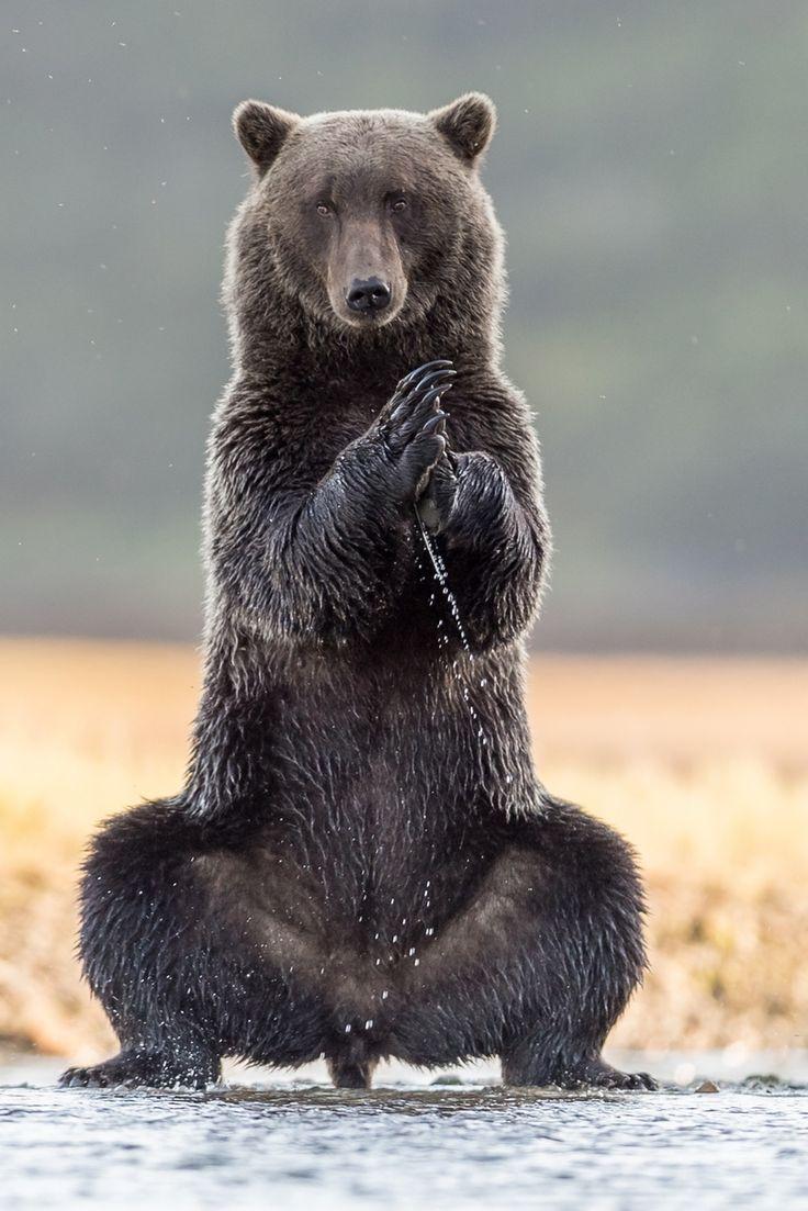 Смешные картинки медведь гризли