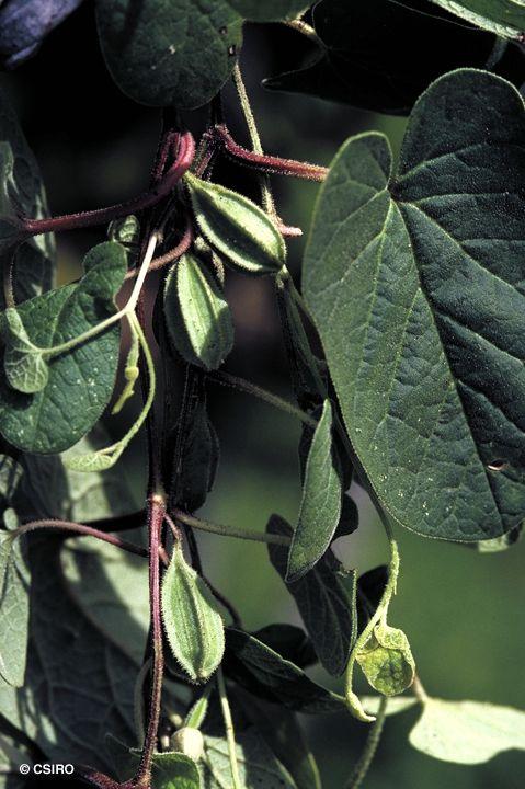 Factsheet - Aristolochia pubera var. pubera