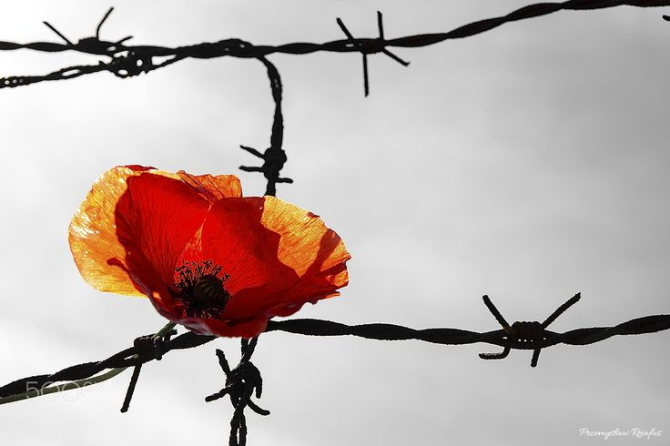 Remember II - Flower of poppy on the barbed wire.