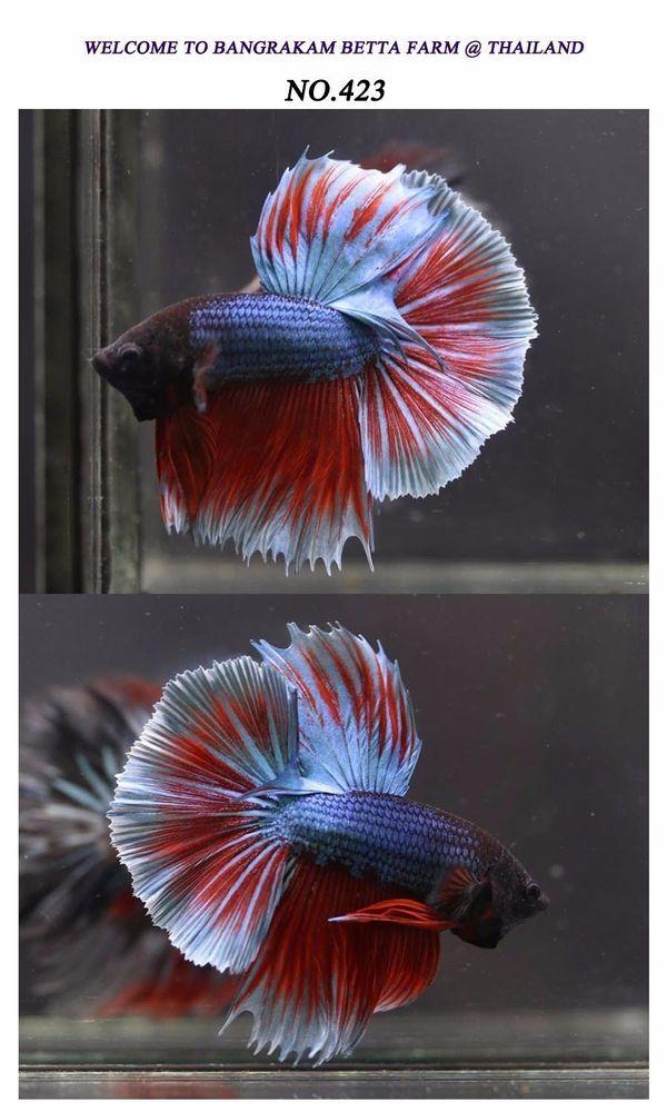 Pin Di Betta Fish