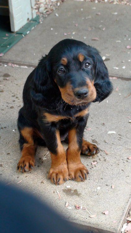 .      - Gordon Setter. Want more? Follow: http://dogsandpupsdaily.tumblr.com/