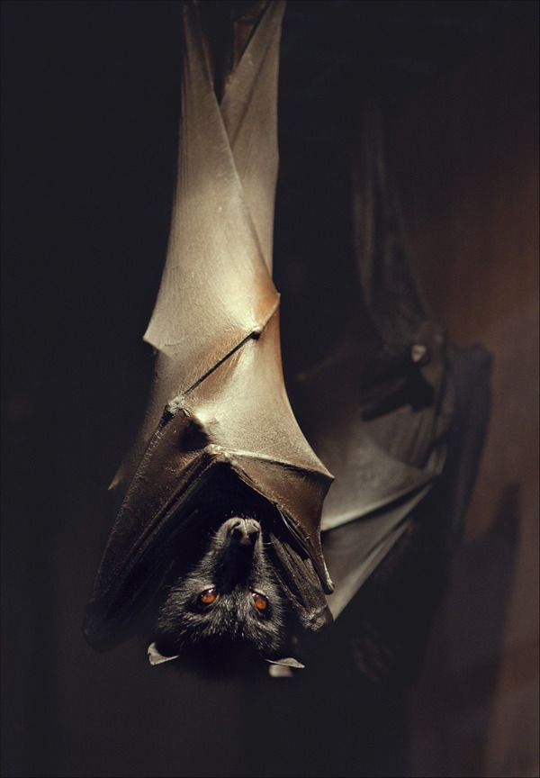 Not sure why I'm so afraid of bats, it's not like I was ever bitten or attacked by one....they just freak me out....sorry all you bat lovers out there..