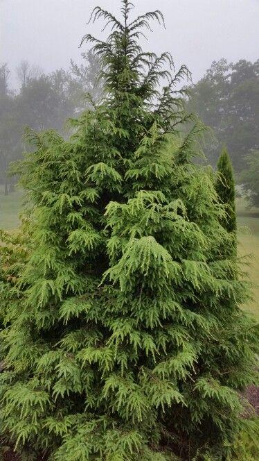 Hemlock Trees Trees Trees To Plant Garden Shrubs
