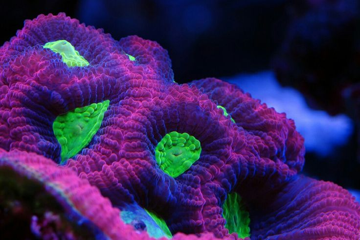 Favia Brain Coral uploaded by Reef2Land.com Aquarium Supplies