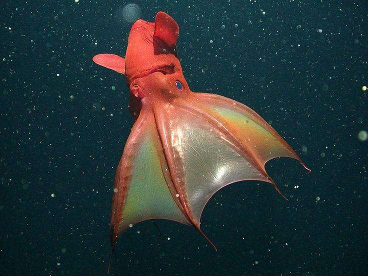 El calamar vampiro es el animal con los ojos más grandes en proporción a su tamaño en todo el reino animal.
