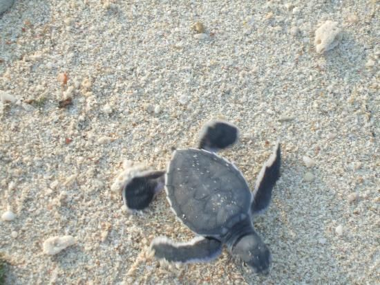 afternoon hatchlings at Turtle Island