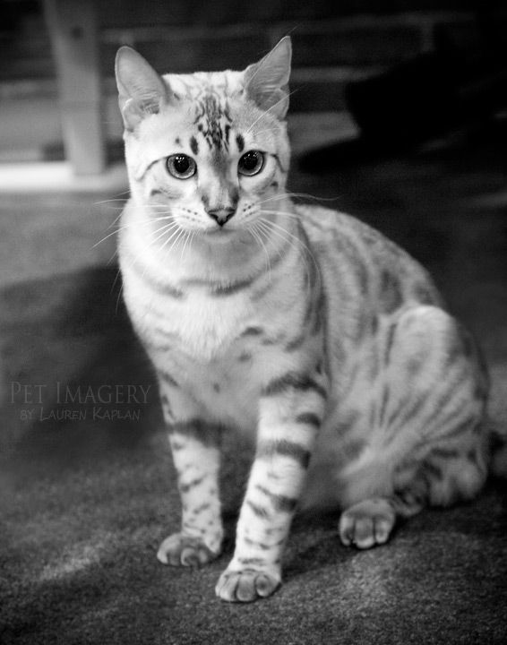 your furry friendly and have been necessary. Bengal cat bites and wash ... #whycatmeow Find out at - Catsincare.com!