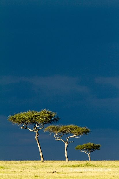 In African culture, trees can be seen as tricksters, as their roots trip up people or their thorns prick people.