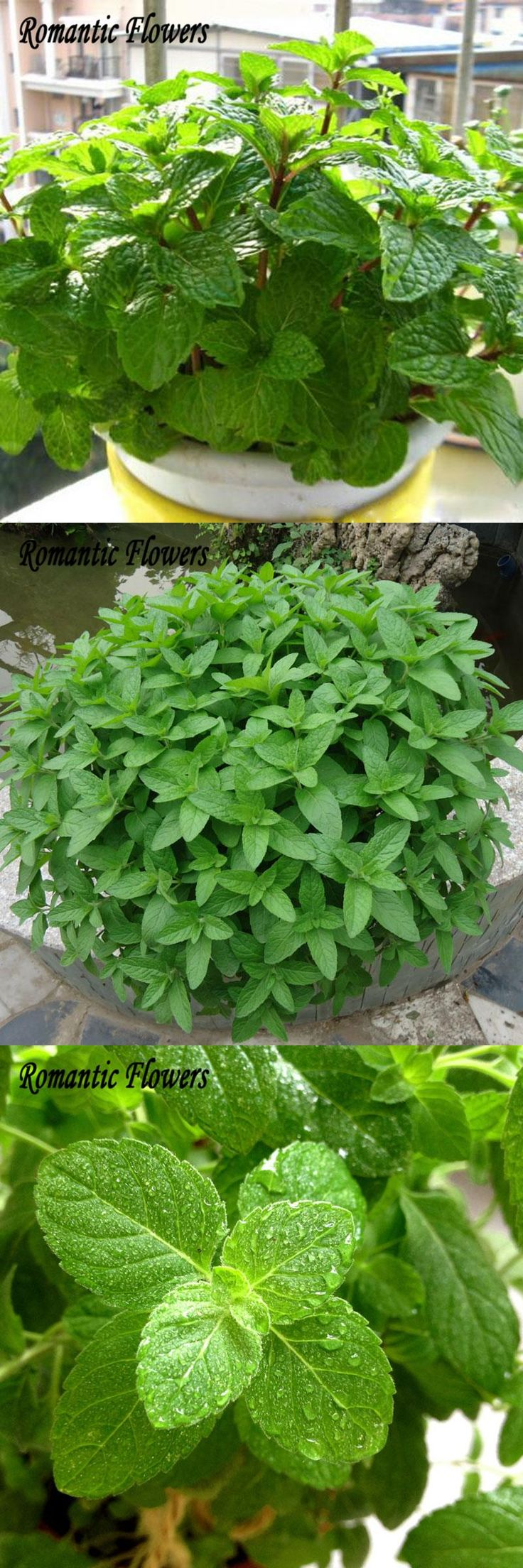 [Visit to Buy] New Delicious 100 Capsules / Bag Mint Seeds Edible Cat Mint Plants Flower Seeds Vegetable Seeds #Advertisement