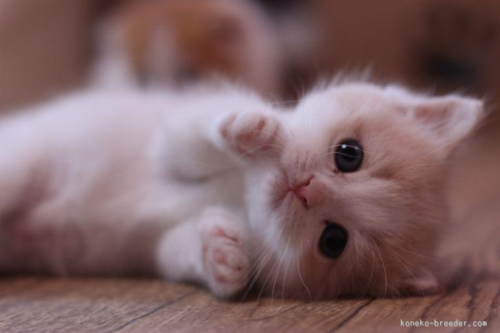 みんなの子猫ブリーダー|スコティッシュフォールド 女の子 クリームタビー&ホワイト 2016/01/12生まれ 東京都 子猫ID:1602-00242 ※大人しい立ち耳の子です。